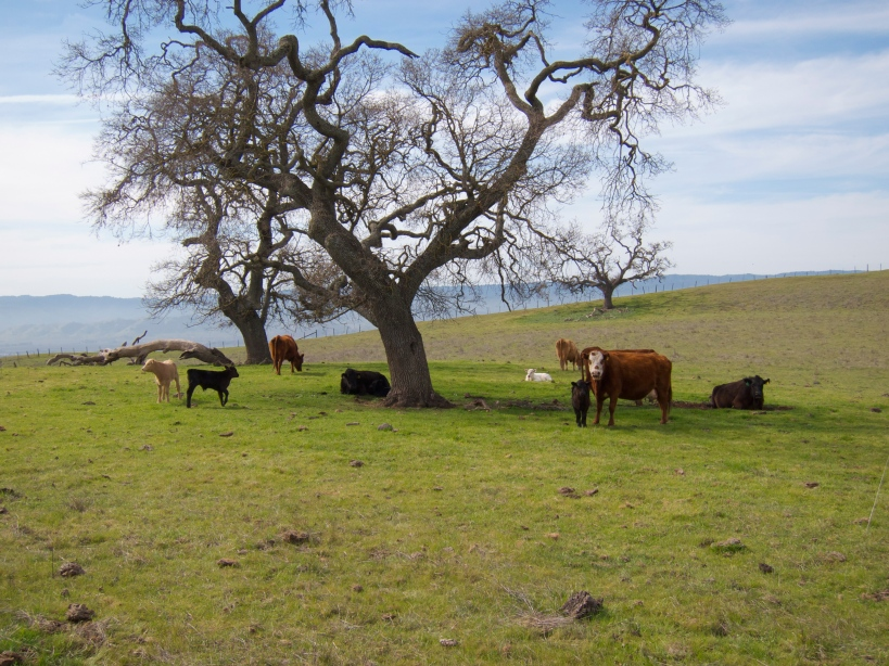 A few cows relaxing