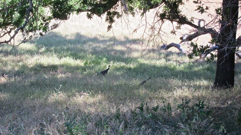 A lone turkey