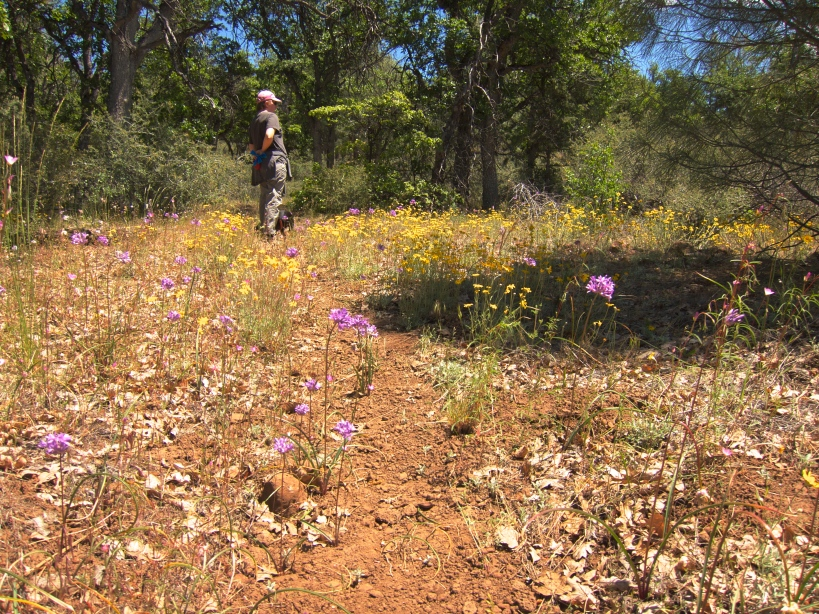 Wild flowers in bloom along the Pacific Crest Trail