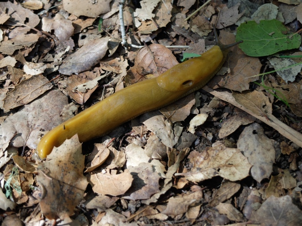 Banana slug on its way